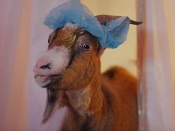 McVitie's Jaffa Cakes Nibbles Advert - Goat Asking Whhaaaat?