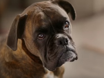 Clearscore Tv Advert The Boxer Dog